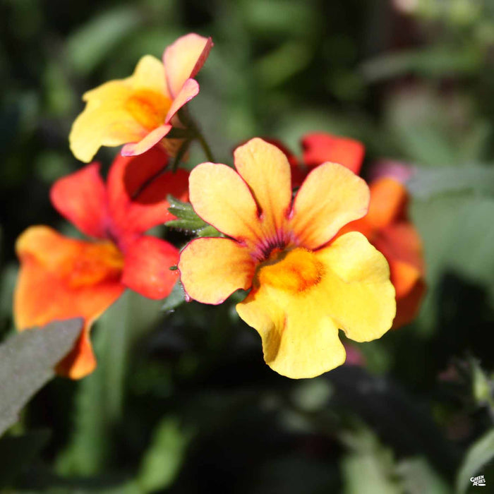 Nemesia Juicy Fruit Kumquat
