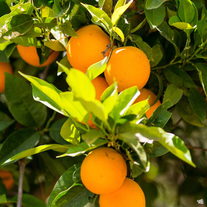 Navel Orange 'Cara Cara'