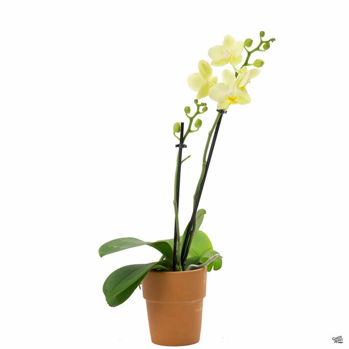 Orchid Phalaenopsis 3 inch, Yellow