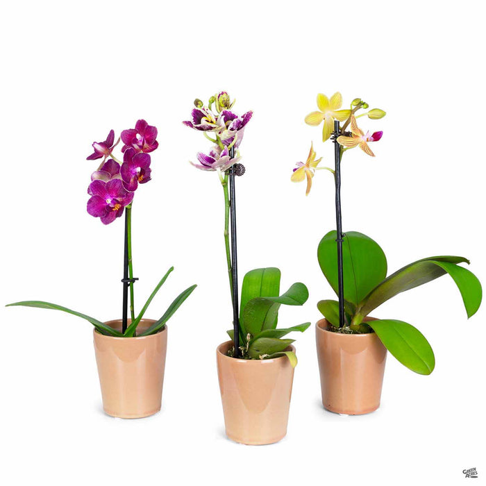 Orchid Phalaenopsis 2 inch in pot - Group of 3