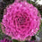 Ornamental Kale Purple