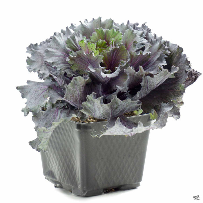 Ornamental Kale 4 inch