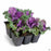 Ornamental Kale 6-pack