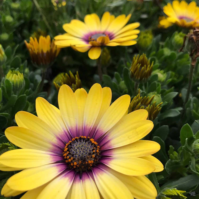 Osteospermum 'Blue Eyed Beauty""