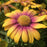 Osteospermum 'Blushing Beauty', Yellow, Purple