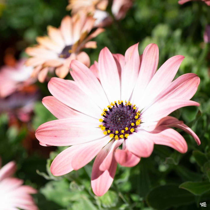 Osteospermum 'Pink Magic'