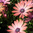 Osteospermum 'Rose Magic'
