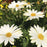 Osteospermum 'Voltage White'