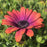 Osteospermum 'Zion Copper Amethyst', Orange