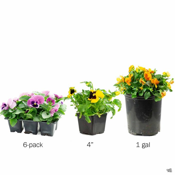 Pansy in 6-pack, 4 inch and 1 gallon