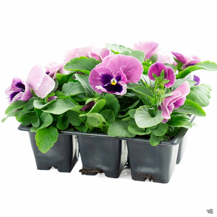Pansy Mammoth Pink Berry 6 Pack