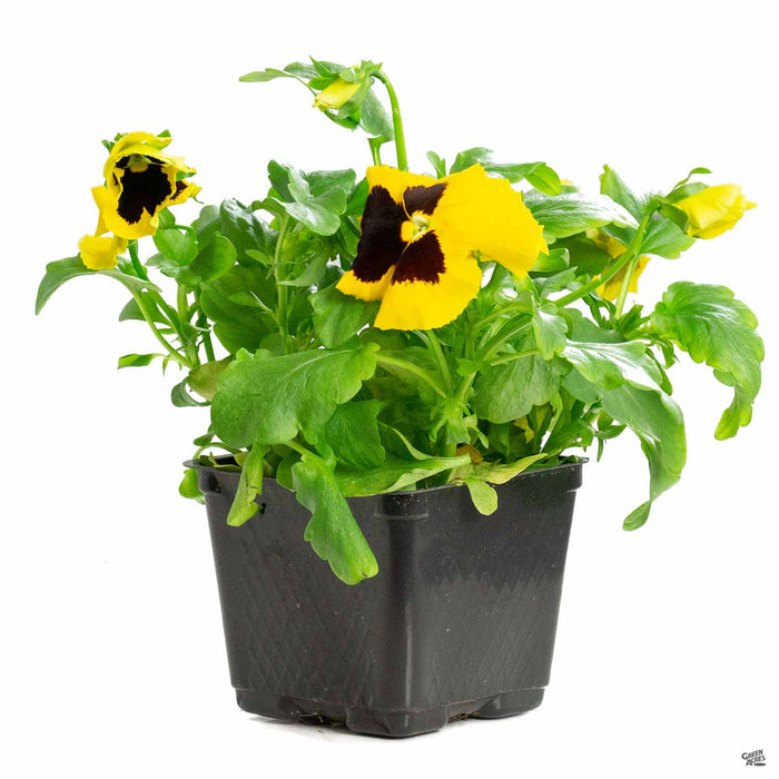 Pansy 4 Inch