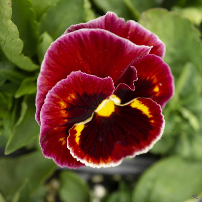 Pansy Mammoth On Fire, Red