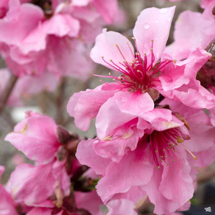 'Snow Beauty' Peach Blossom