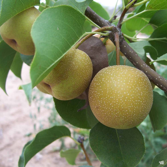 Asian Pear 'Shinko'