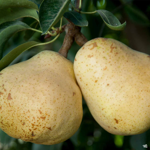 Pear 'Bartlett'