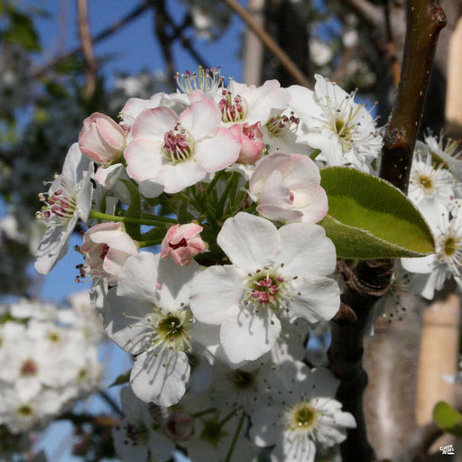Callery Pear Spring Blooms