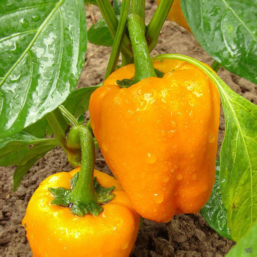 Pepper 'Orange Bell'