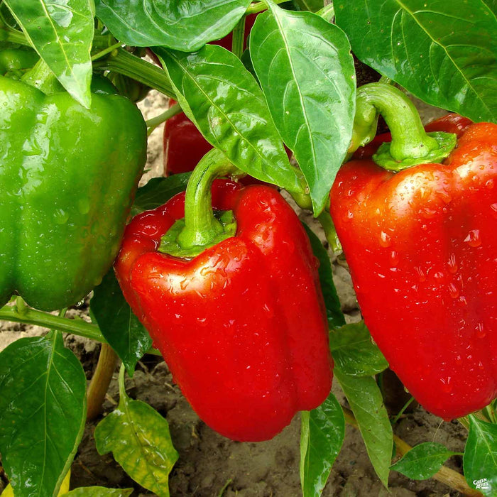 Sweet Red Bell Pepper on plant