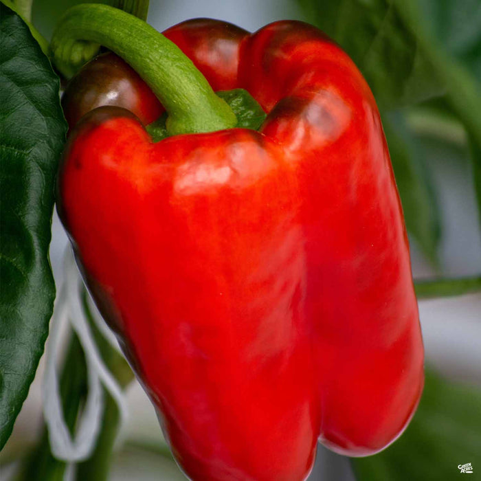 'Big Bertha' Pepper