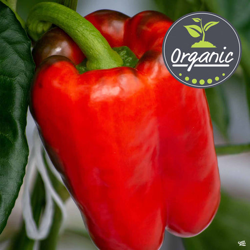 'Big Bertha' Pepper organic