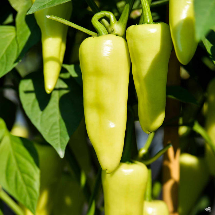 'Eisley Wax' Pepper