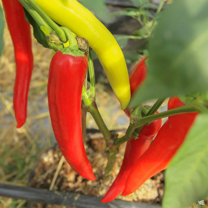 'Hungarian Hot Wax' Pepper plant