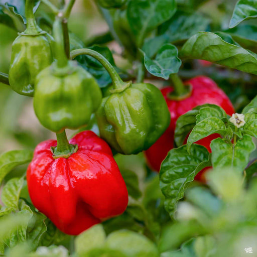 Scotch Bonnet plant