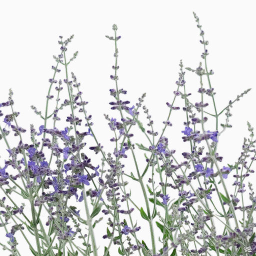 Russian Sage 'Little Spire' blossom