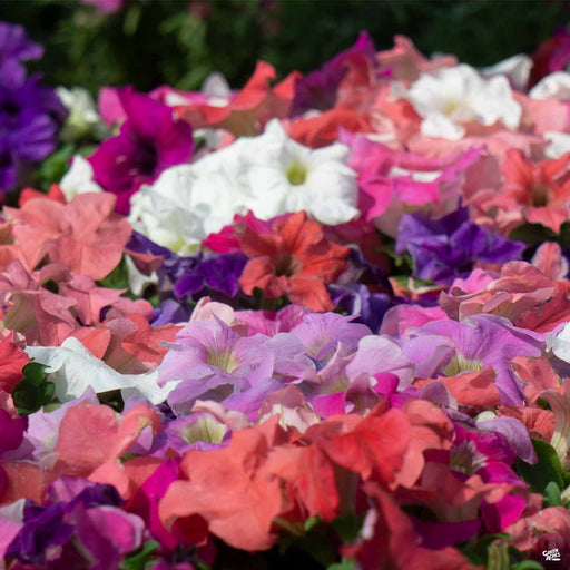 Petunia Color Mix