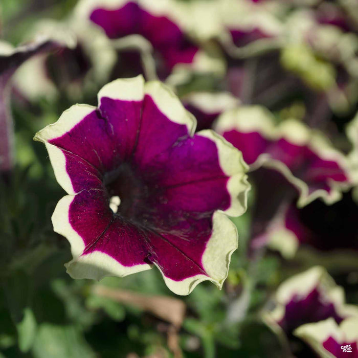 Petunia Crazytunia Good Night Kiss
