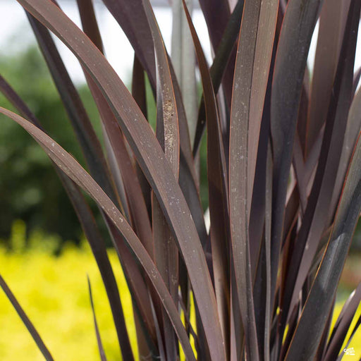 New Zealand Flax 'Dark Delight'