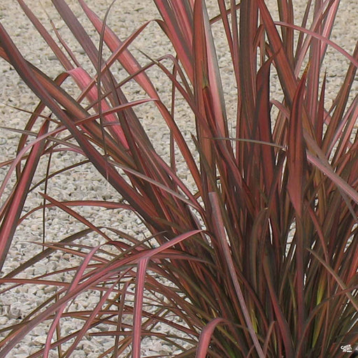 New Zealand Flax 'Rainbow Warrior'