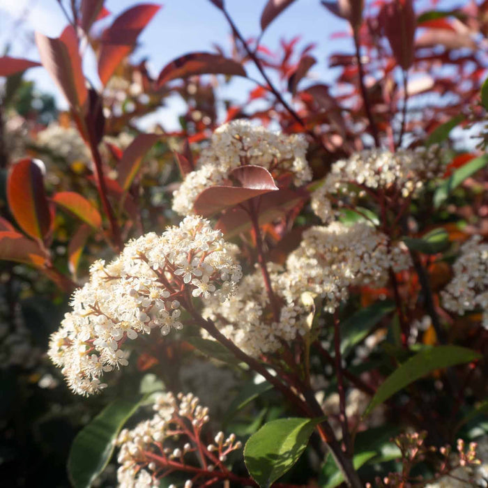 Red Tip Photinia in Bloom