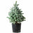 Baby Blue Spruce 7 gallon