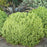 Black Stem Pittosporum 'Golf Ball'