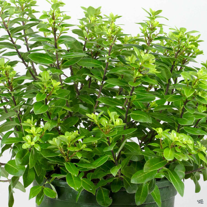 Black Stem Pittosporum 'Golf Ball' | Monrovia