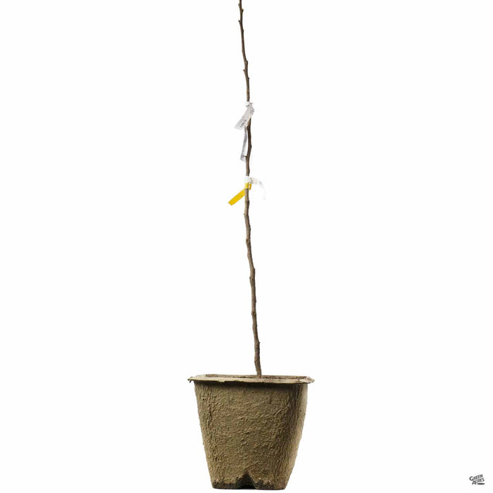 Bareroot fruit tree 11 inch fiber pot