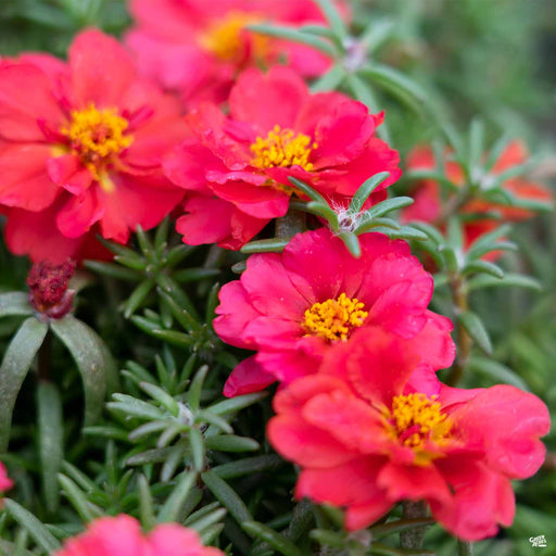 Purslane Fanfare Red