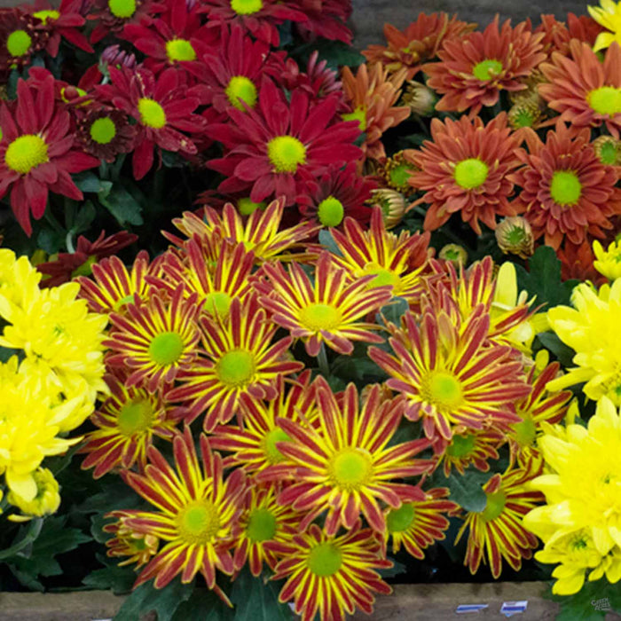 Assorted Pot Mums
