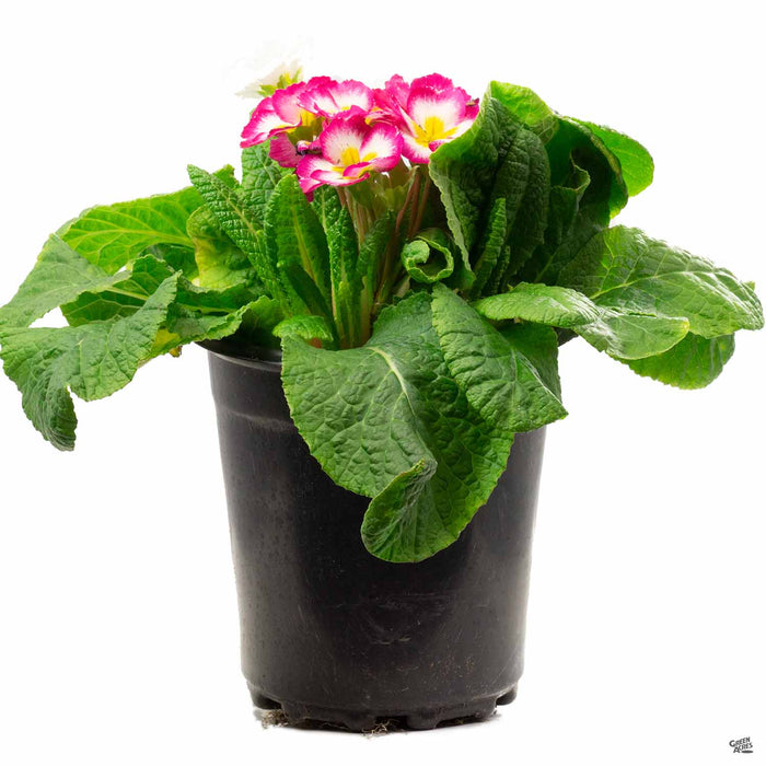Primula 1 gallon