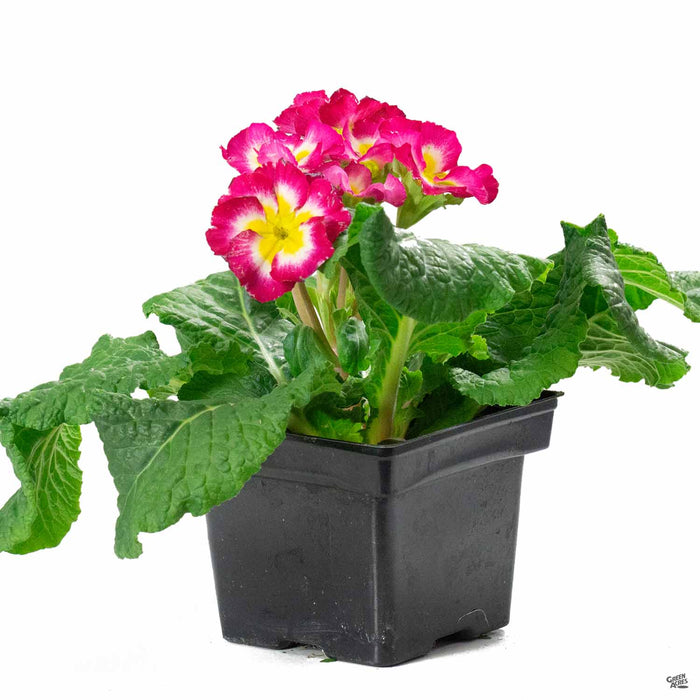 Primula Super Nova Rose BiColor 4inch
