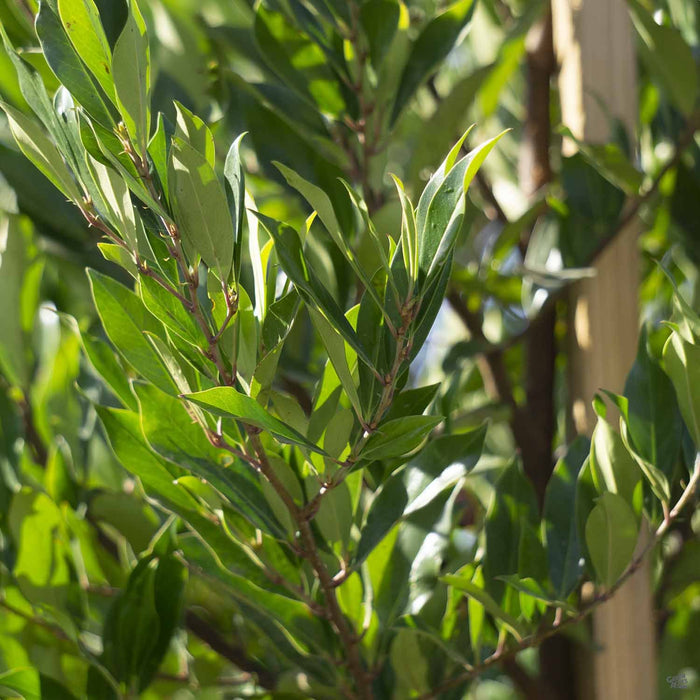 Cherry Laurel 'Compacta'