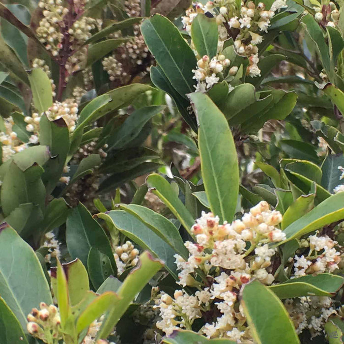Cherry Laurel 'Compacta' bloom