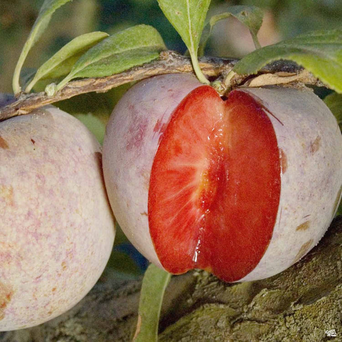 Pluot 'Dapple Dandy'