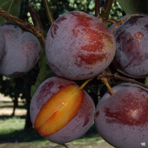 Pluot 'Flavor King'