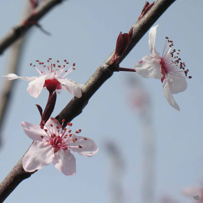 Flowering Plum 'Purple Pony' blossom