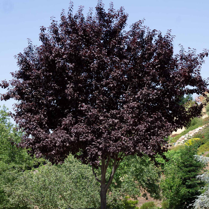 Flowering Plum 'Purple Pony' Tree