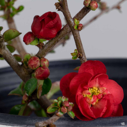 Double Take Scarlet Storm Flowering Quince
