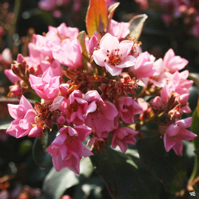Indian Hawthorn 'Ballerina'